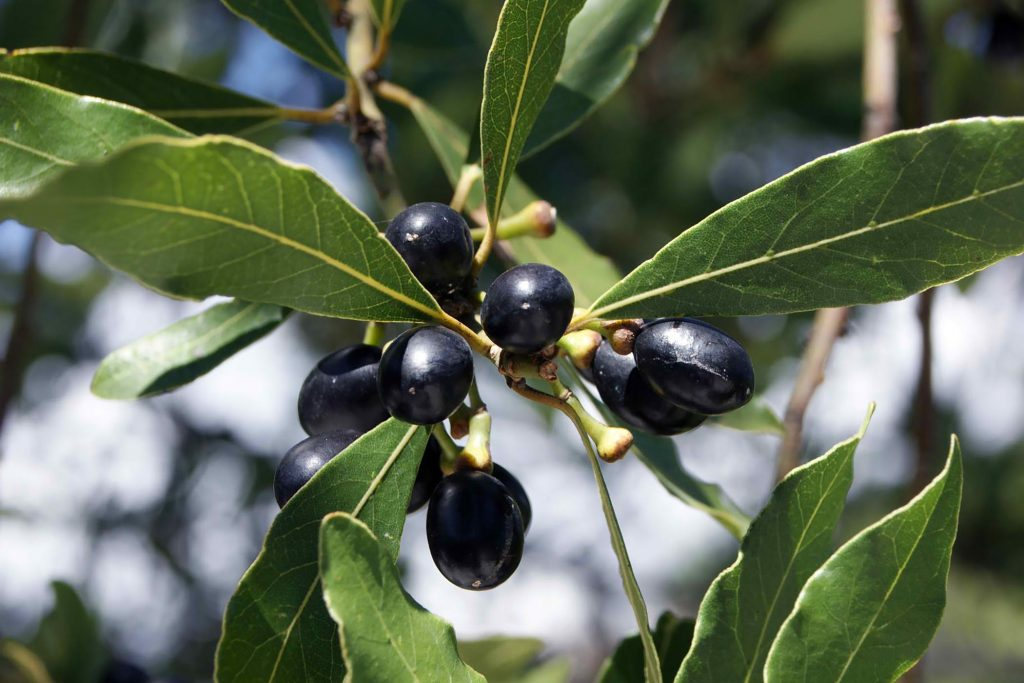 Laurel Fruits, noblesoap.com