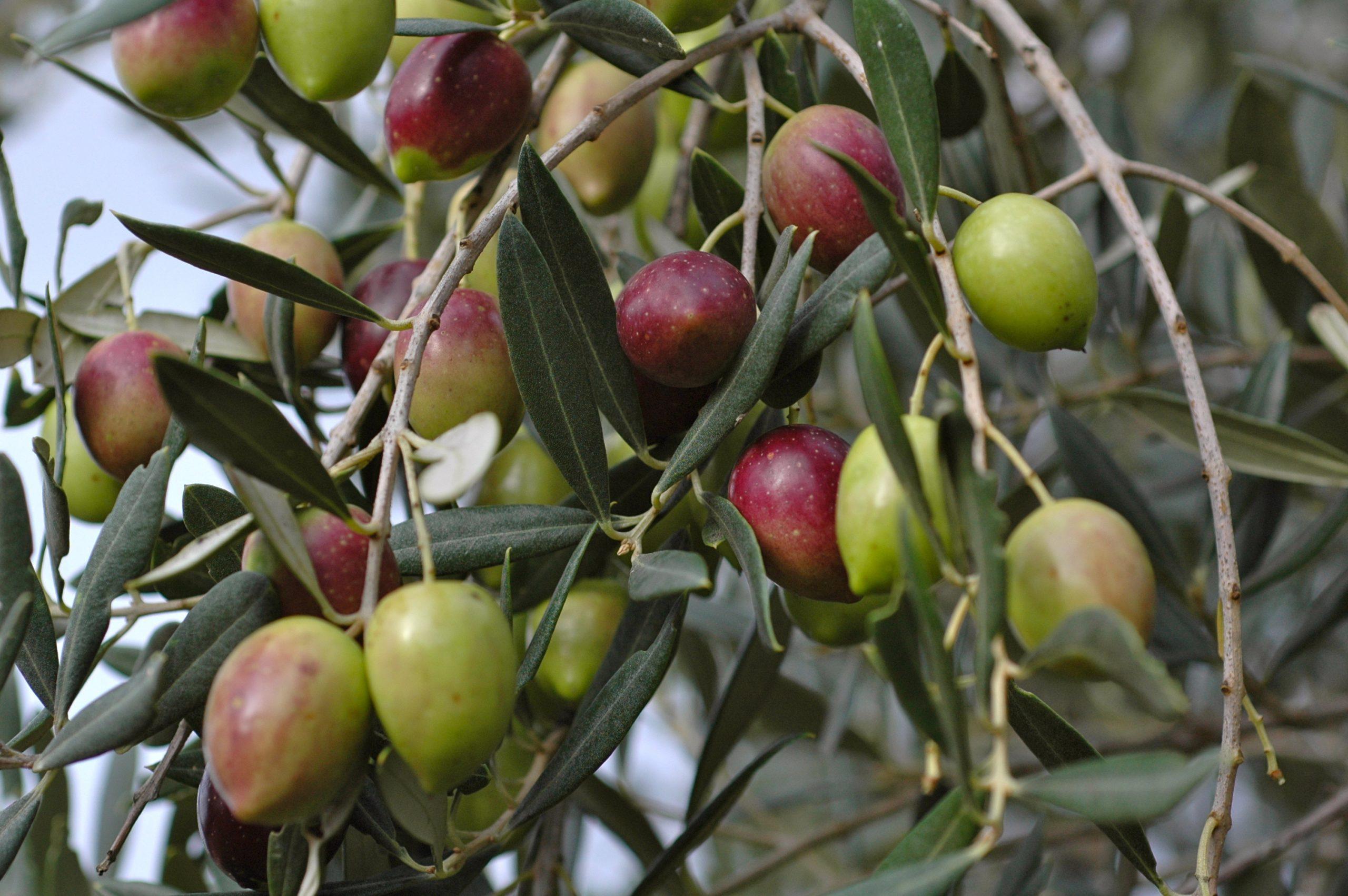 olive tree fruits